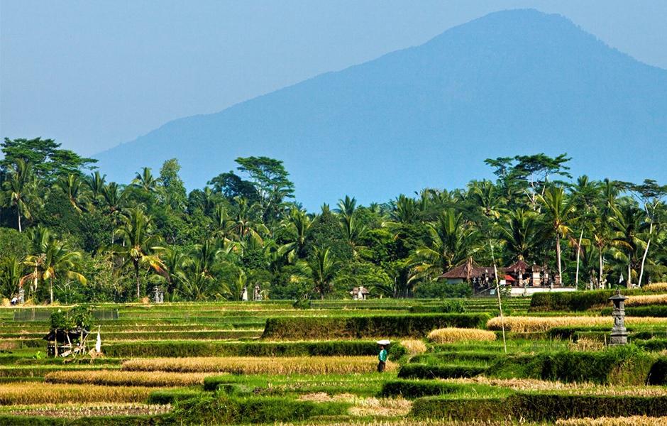 rice paddy fields bali
